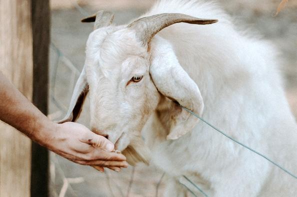 Kecsketej, kecskesajt – egészséges finomságok