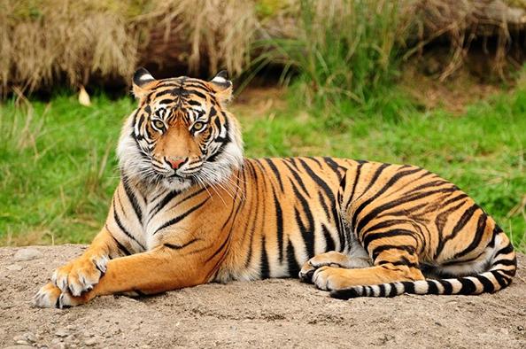 Fenséges csúcsragadozók – a Tigrisek világnapja