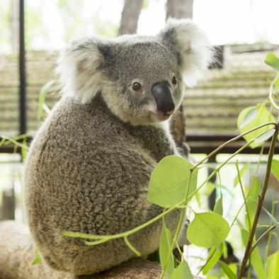 Sikeres erőfeszítések a koalák megmentéséért