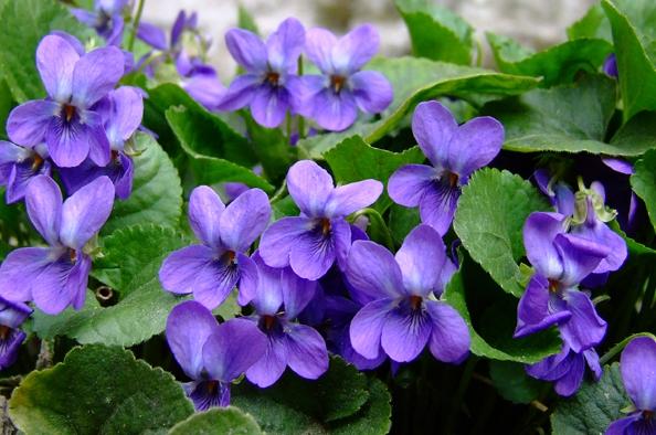 Tündérek nyomában - Tavaszi virágok a kerület erdeiben
