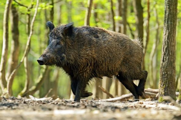 A budai erdők állatai
